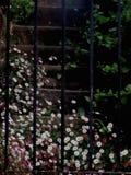 Margherite bianche e di rosa sui punti del giardino fotografia stock