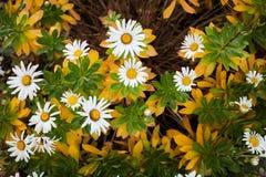 Margherite bianche e gialle floreali naturali di disposizione, del giardino di Shasta immagine stock