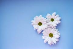Margherite bianche su fondo blu-chiaro Fotografie Stock Libere da Diritti