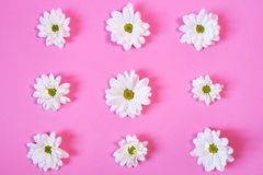 Margherite bianche su fondo rosa Immagini Stock