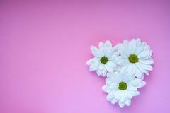 Margherite bianche su fondo rosa Immagini Stock Libere da Diritti