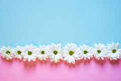 Margherite bianche su fondo rosa e blu-chiaro Fotografia Stock