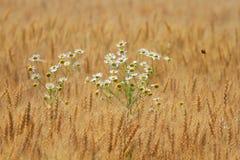 Margherite che crescono su un campo dorato con le spighe del granoturco mature Fotografie Stock Libere da Diritti