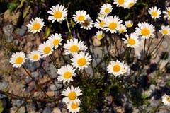 Margherite che crescono sulla terra pietrosa Fotografia Stock