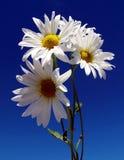 Margherite con cielo blu Immagine Stock
