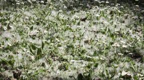Margherite con polline Fotografia Stock
