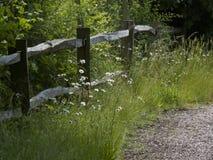 Margherite dei campi che crescono accanto ad una posta e ad un recinto di ferrovia di legno Fotografie Stock
