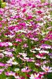 Margherite dei colori misti in un campo Fotografie Stock