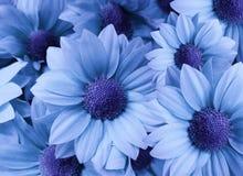 Margherite dei fiori blu-chiaro Primo piano collage floreale Composizione nella sorgente fotografie stock libere da diritti