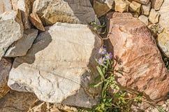 Margherite dell'Utah fra le rocce variopinte Fotografie Stock