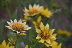 Margherite della radice del balsamo del Balsamorhiza che mostrano i petali sportivi, un regalo di ibridazione dagli impollinatori fotografie stock libere da diritti