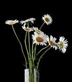 Margherite di estate in vaso Fotografia Stock Libera da Diritti