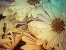 Margherite di fioritura Fotografie Stock