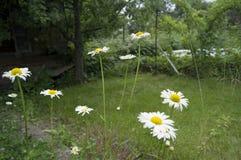 Margherite di fioritura, bianche con il fiore giallo Immagini Stock Libere da Diritti