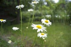 Margherite di fioritura, bianche con il fiore giallo, annuale Fotografia Stock Libera da Diritti