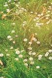 Margherite di fioritura in segnali di Brecon in Galles del sud Regno Unito fotografie stock