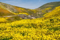 Margherite di Hillside e wildflowers del fiddleneck con la strada nei precedenti al monumento nazionale normale di Carrizo in Cal fotografia stock