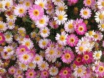 Margherite di rosa selvaggio Fotografia Stock Libera da Diritti