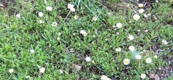 Margherite di Shasta minuscole della montagna Fotografia Stock