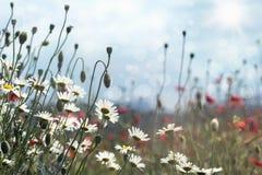Margherite e papaveri di fioritura Fotografie Stock