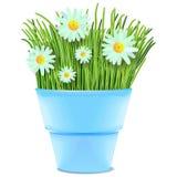 Margherite ed erba in vaso   Immagine Stock