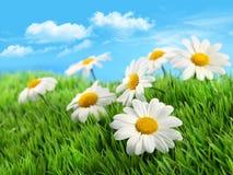 Margherite in erba contro un cielo blu immagine stock