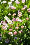 Margherite in fioritura Immagini Stock Libere da Diritti