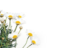 Margherite fresche isolate su bianco Fotografia Stock