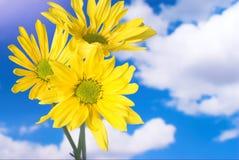 Margherite gialle al sole Fotografie Stock Libere da Diritti