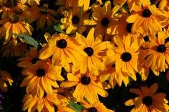 Margherite gialle dorate immagini stock libere da diritti