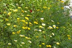 Margherite gialle e bianche Fotografie Stock Libere da Diritti