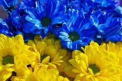 Margherite gialle e blu Fotografie Stock Libere da Diritti