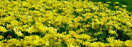 Margherite gialle in fioritura fotografie stock
