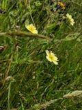 Margherite gialle in prato fotografie stock libere da diritti