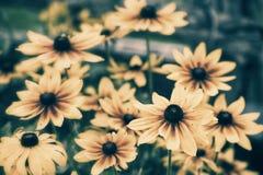 Margherite gialle - retro Immagine Stock Libera da Diritti
