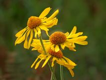 Margherite gialle sul supporto Lemmon in Tucson fotografia stock