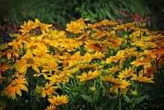 Margherite gialle in un campo Immagini Stock