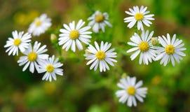 Margherite in il giardino di primavera Immagini Stock Libere da Diritti