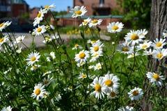 Margherite il giorno di estate soleggiato Bei fiori con i petali bianchi ed il nucleo giallo fotografie stock