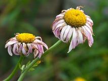 Margherite nel giardino fotografie stock