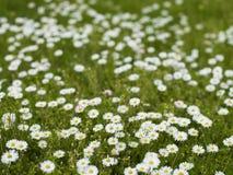Margherite nell'erba Immagine Stock
