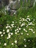 Margherite nell'erba Fotografia Stock