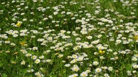 Margherite nell'erba Fiori in estate Immagini Stock Libere da Diritti