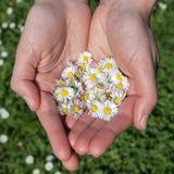 Margherite nella tenuta di primavera dalle mani femminili Immagine Stock