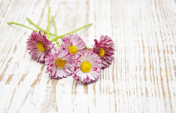 Margherite rosa fotografie stock