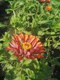 Margherite rosa-rosso Fotografia Stock Libera da Diritti
