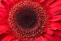 Margherite rosse della gerbera Immagini Stock