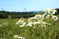 Margherite selvatiche, molti fiori vaghi nel campo, camomilla Immagini Stock