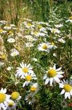 Margherite selvatiche, molti fiori vaghi nel campo, camomilla Fotografie Stock