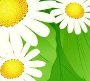 Margherite su un fondo verde Immagini Stock